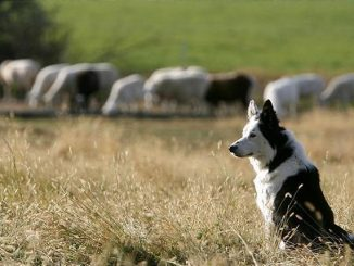 Sheep, Wolves and the Sheepdog