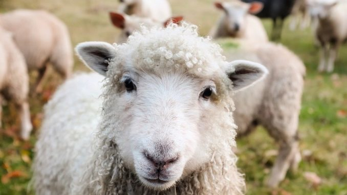 Enviros Lose to Sheep Ranchers in Court