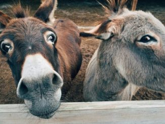 Democrats Acting Like Donkeys Over Impeachment